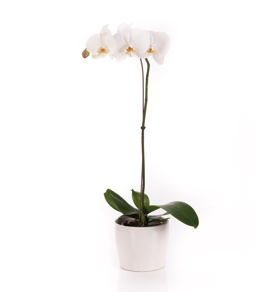 Israel Flowers PHALAENOPSIS ORCHID PLANT